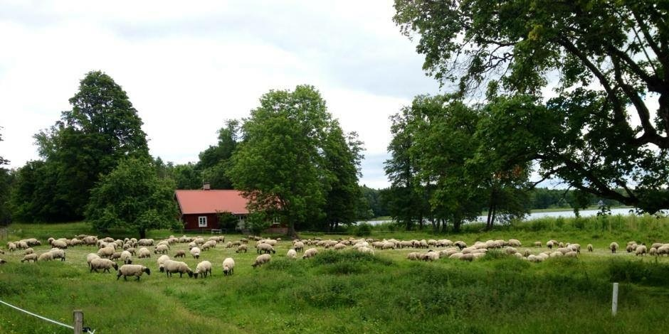 Ekologiskt Lammkött roslagen