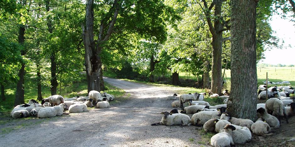 Mattssons lamm ekologiskt lammkött